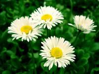 flowers-iko
