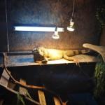 Игуаната на Ирена